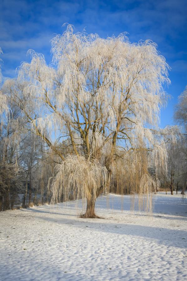 Træ med rimfrost